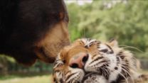 'The World's Oddest Animal Couples': A Bear, Lion and Tiger Form an Inseparable Trio | Discovery Channel - Yahoo Screen