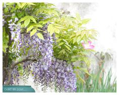 Wisteria and clematis...