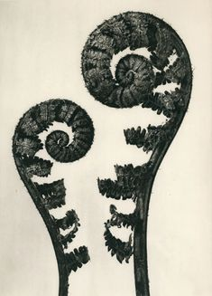 Search results for: 'karl-blossfeldt---art-forms-in-nature_artist-cat' Karl Blossfeldt, Still Life Photography, Art Photography, Art Actuel, Natural Form Art, Inspiration Artistique, Historia Natural, Ernst Haeckel, Nature Artists