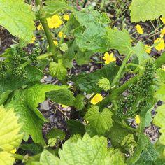 #vineyard #vines #grapes #flowers #spring #douro #superior #quinta #bandeiras #passagem #rain #vinhas #uvas #flores #portugal by quintadelarosa
