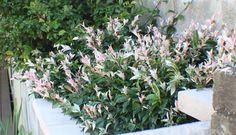Trachelospermum 'Tricolour'- Coastal Sydney