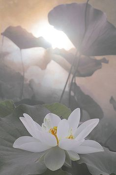 White lotus flower:  The third meaning of a lotus flower in Buddhism refers to faithfulness. Those who are working to rise above the muddy waters will need to be faithful followers.