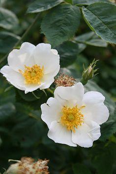 "~Alba Rose: Rosa ""Gudhem"" (found rose discovered in Sweden in the 1980's)"