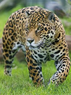Ares walking in the grasses (by Tambako the Jaguar) Big Animals, Nature Animals, Animals And Pets, Amazing Animal Pictures, Funny Animal Pictures, Jaguar, Beautiful Cats, Animals Beautiful, Kittens Cutest