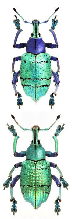 Eupholus schoenneri petiti; Eupholus schoenneri .semicoeruleus