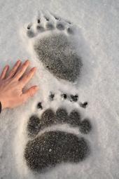 Kodiak bear tracks...