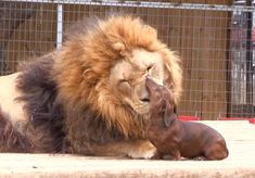 500-Lb. Lion and Dachshund Are Best Friends
