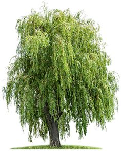 Find Isolated Weeping Willow On White Background stock images in HD and millions of other royalty-free stock photos, illustrations and vectors in the Shutterstock collection. Weeping Willow, Willow Tree, National Flower Of Wales, Tree Photoshop, Watercolor Trees, Birth Flowers, Tree Shapes, Tree Art, Daffodils