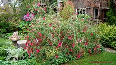 Full size picture of Magic Flower, Sacred Flower of the Incas (Cantua buxifolia)