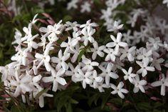 Il gelsomino dai fiori bianchi profumatissimi in Oriente veniva largamente impiegato nelle cerimonie religiose, in India era sacro a Visnu e, per la sua fr