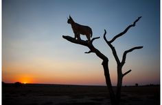 A caracal stands on a tree as the sun sets, Namibia. (Photograph by Beverly Houwing, Beverly Hills, CA)