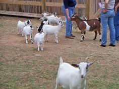 Goats at Izzie's pond 4/14