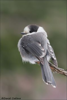 "amazingwilderness: "" Gray Jay by Daniel Cadieu """