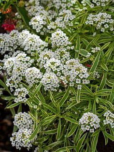 Love love love Frosty Knight Sweet Alyssum from #ProvenWinners! Named on BHG.com top annuals for 2013.