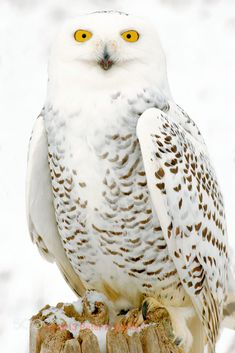 Snowy Owl, Snow, B by Peter K Burian on 500px