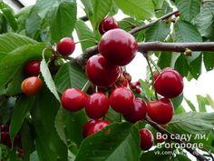Защита вишни и черешни | Дачный сад и огород