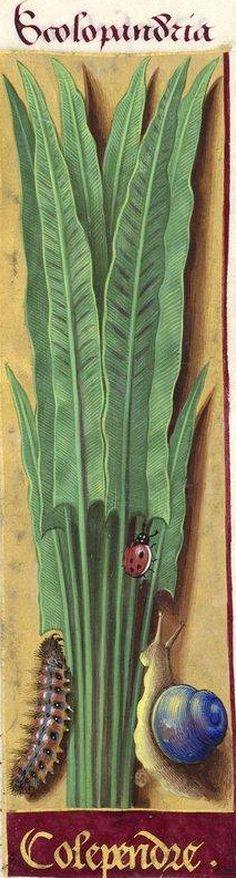 Colependre - Scolopandria (Scolopendrium officinale Sm. = [fougère] scolopendre ou langue-de-cerf) -- Grandes Heures d'Anne de Bretagne, BNF, Ms Latin 9474, 1503-1508, f°146r