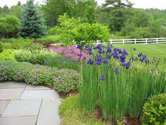Iris and Geranium stand sentry along the path to the front door of a South Burlington project