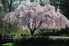flowering trees | Cherry Blossom at the Japanese Garden (Missouri BotanicalGarden).