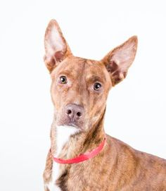 STATUS UNKNOWN - JAVA - URGENT - Dekalb County Animal Shelter in Decatur, Georgia - ADOPT OR FOSTER - 2 year old Male Am. Pit Bull Terrier Mix