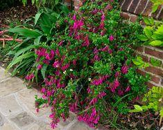 Vista de la Abelia floribunda