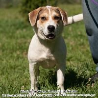 4 1 still listed but on Euthanasia list★TO BE DESTROYED 3/31/15★•TN• Thor~ Breed:Beagle / Mixed (mix breed) Age: Young adult Gender: Male Shelter Information: Elizabethton Carter County Animal Shelter 135 Sycam...