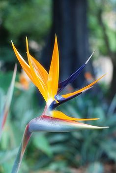 Bird of Paradise by Trent Strohm, via Flickr. These are a delight but can get really big. I mean really big.