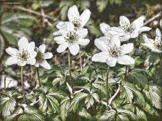 Buschwindröschen (Anemone nemorosa) - null
