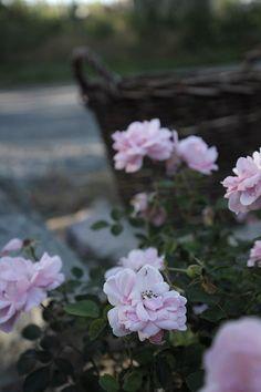 ♕ Rosa ´Bonica`
