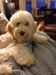 Whiskey the labradoodle