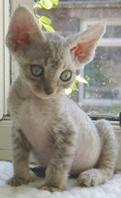 I am so intrigued since a friend posted pictures of her incredible Devon Rex Rozwell. I want one...