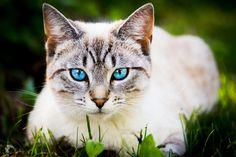 Blue-eyed Cat by Sergei_K