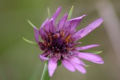 Salsify wildflower 5 x 7 photograph charity donation by sue8261, $7.00