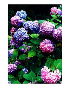 Hydrangea....one of my favorite flowers. And I love the color combo of this particular hydrangea bush!