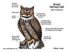 Great Horned Owl Facts Great Horned Owl Facts, Owl Crafts Preschool, Disney Drawing Tutorial, Owl Moon, Owl Pet, Gray Owl, Pet Paws, Animal Projects, Wild Birds