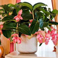 Medinilla Magnifica/Philippine Orchid – Start A Easy Flower Backyard Garden Project - Homemade Ideas (13)