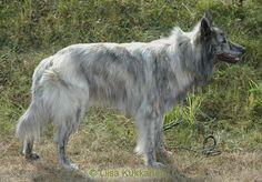 Long Hair Dutch Shepherd