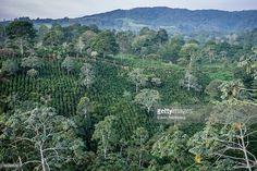 Stock Photo : Coffee Plantation