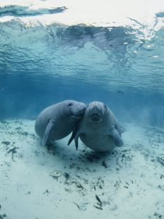An Underwater Shot of a Pair of Florida Manatees