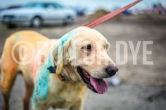 Yellow Lab participates in Run or Dye 5K Run