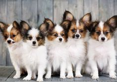 There's so much to love about a Papillon, from his unusual beauty to his excellence at pretty much everything he tries. Most of all, he is a companion dog par excellence.