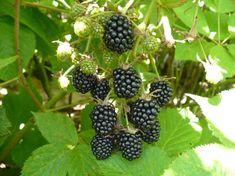 Ежевика — это не самый частый гость на дачных и садовых участках, хотя и является она не менее вкусной и питательной ягодой, чем, например, малина, на которую она больше всего похожа. Произрастает она...