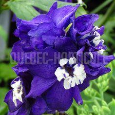 Delphinium, Magic Fountain, Detaille, Planting Flowers, Purple Garden, Dimensions, Photos, Gardens, Index Cards