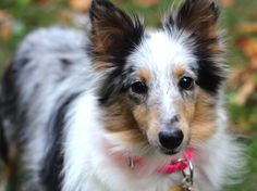 Sweet Blue Merle Sheltie