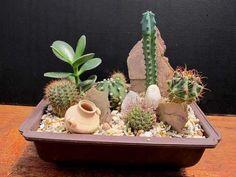 cactus y suculentas Mini Cactus Garden, Mini Fairy Garden, Succulent Gardening, Cactus Flower, Succulents In Containers, Cacti And Succulents, Planting Succulents, Cactus Plants, Cactus Terrarium