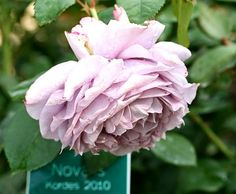More roses from Baden More beauties from biggest Rose House in Europe - city of Baden (Austria)
