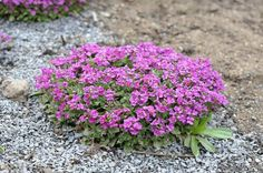 Самые яркие почвопокровные растения для сада