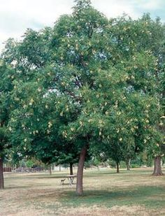 Sester Farms Kentucky Coffee Tree Latin Name: Gymnocladus dioicus  Wholesale Tree Nursery