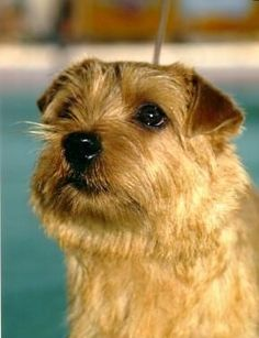 https://flic.kr/p/7bnaRm | Norfolk Terrier