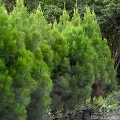 Daintree pine - Gymnostoma Australian Plants Online
